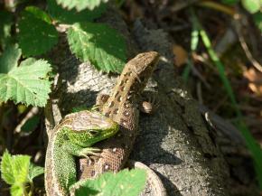 Ještěrčí sameček a samička