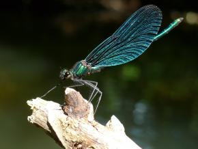 Motýlice lesklá sameček