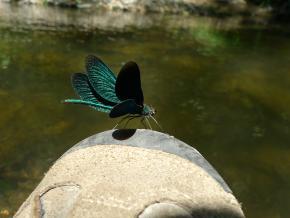 Motýlice lesklá. PP Terezské údolí