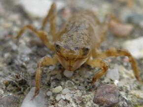 Larva vážky